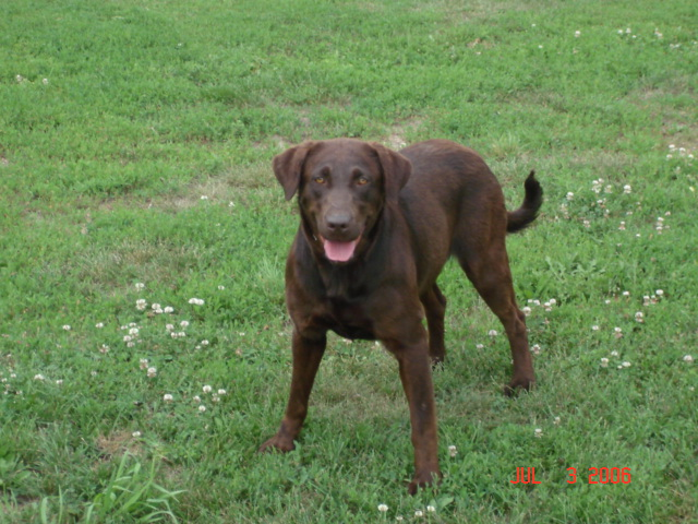 chocolate lab Adult
