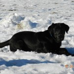 Baylie - Black Lab Dam owned by Dakota TK Labradors