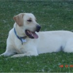 Buck - Yellow Lab sire owned by Dakota TK Labradors