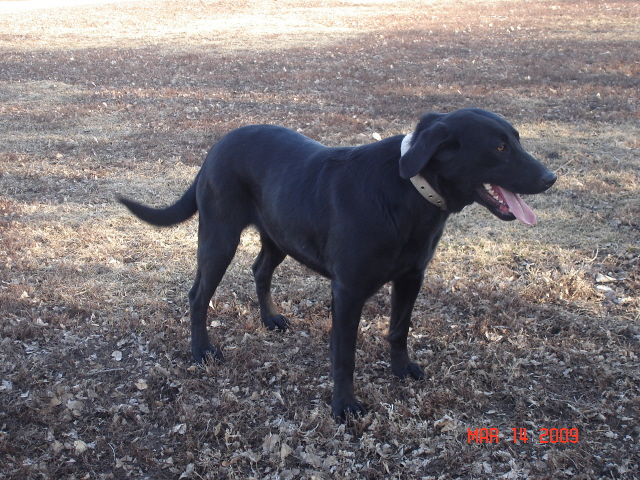 Black Female Labrador Retriever owned by Dakota TK Labradors
