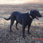 Mollie - Black Lab Dam owned by Dakota TK Labradors