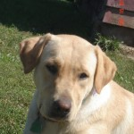 Roxie - Yellow Lab Dam owned by Dakota TK Labradors