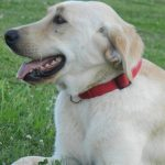 Yellow Labrador Retriever Female