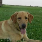 Yellow Labrador Retriever Male